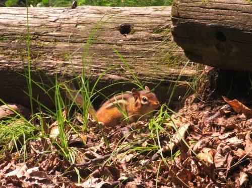 chipmunk near log