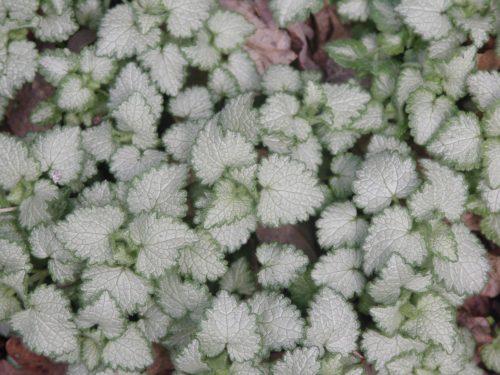 white-leaved plant