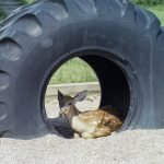 Deer sitting inside tire at playground